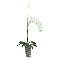 Potted Phalaenopsis: Plants